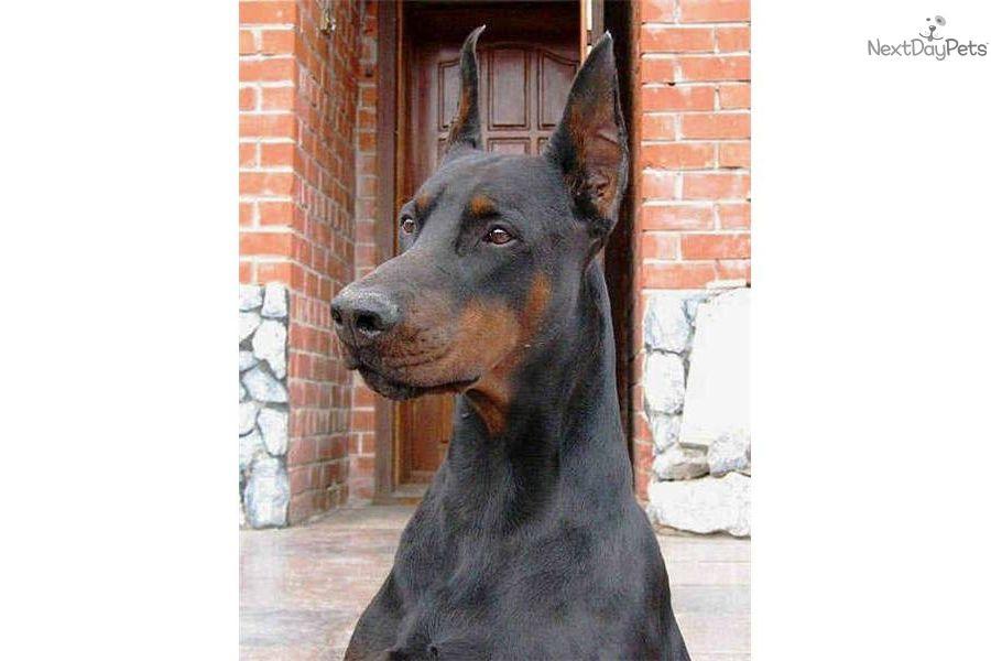 Powerful Obedient Protective Royal Bloodlines Doberman Pinscher Puppy Doberman Pinscher Dog Red Doberman Pinscher