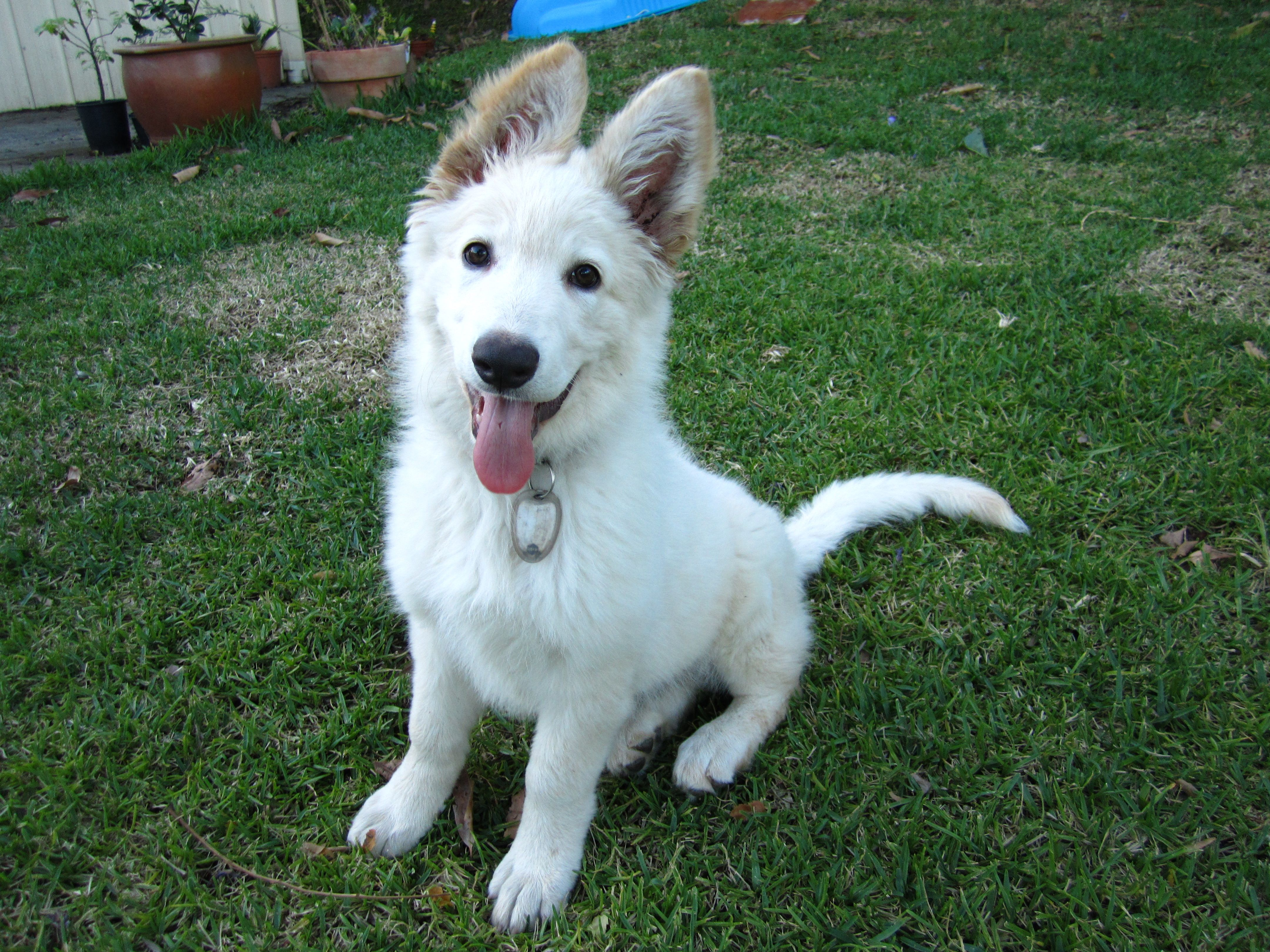 The White Shepherd Emerged From White Coat Lines Of The German