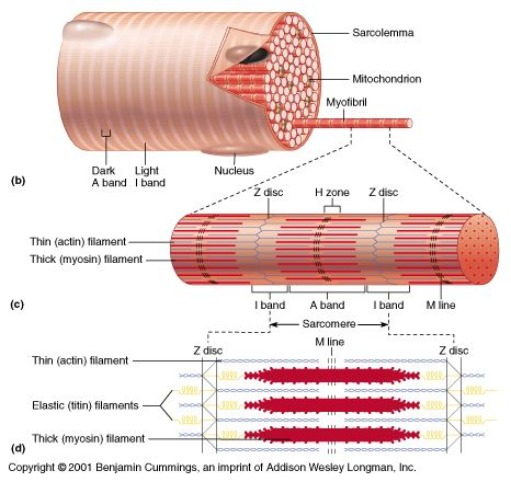 This Diagram Shows A Skeletal Muscle Cell It Labels The Dark And