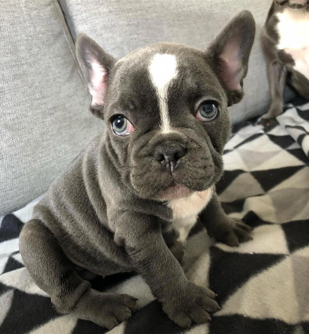 Cute Bulldog Price In 2020 Training Your Dog French Bulldog