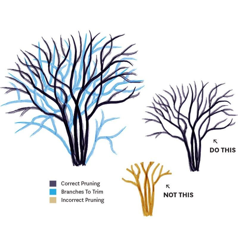 Crepe Myrtle Pruning Why How When Tools Tips Crepe Myrtle Myrtle Crape Myrtle