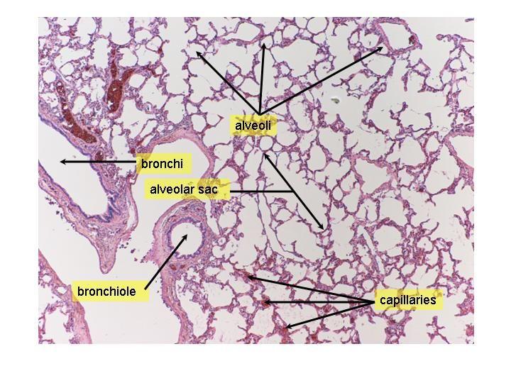 Bronchi Skewl Pinterest Respiratory System