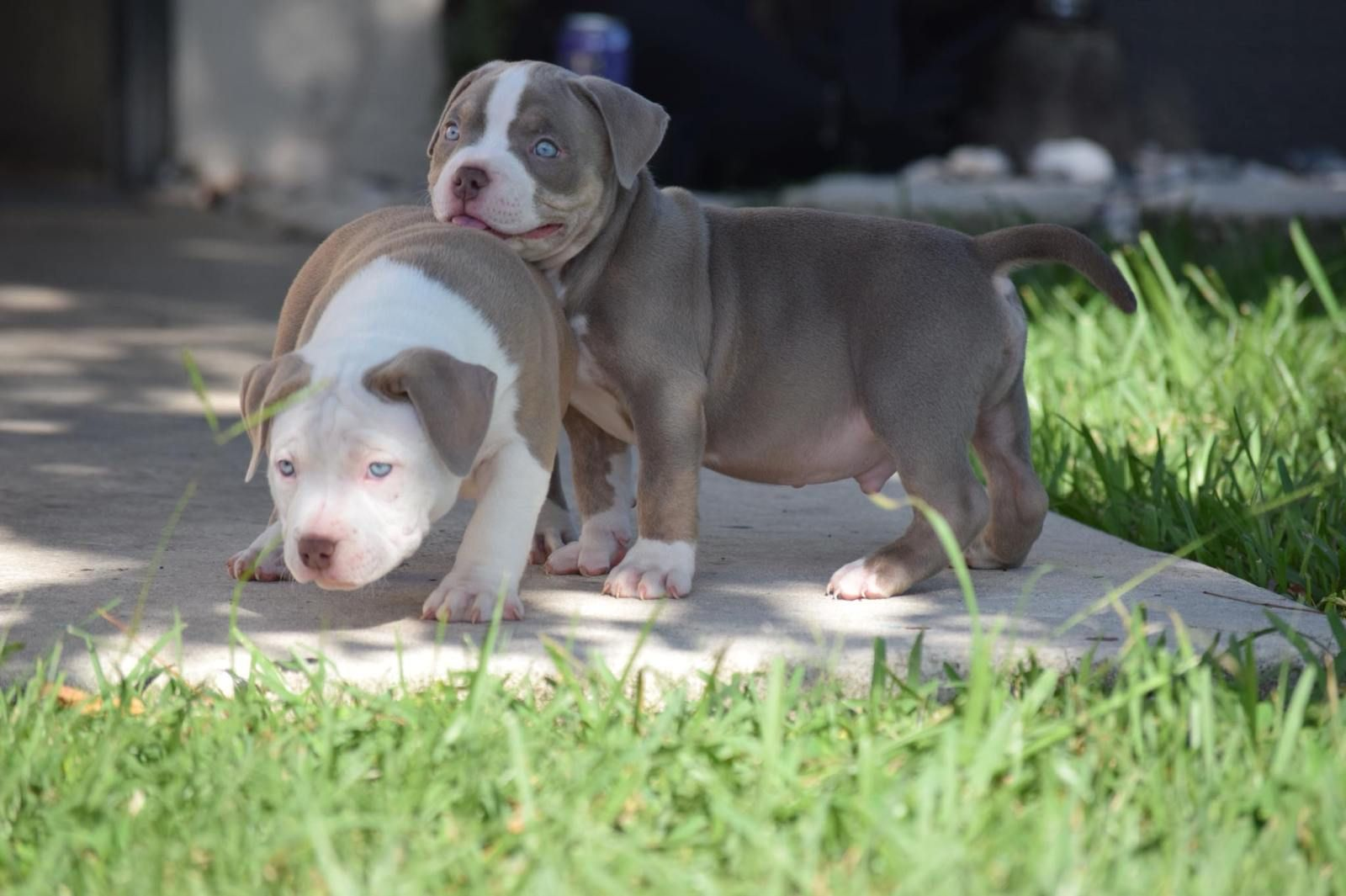 2x Venom Puppies American Bully American Bully Kennels