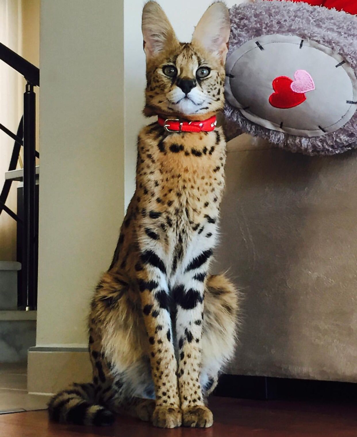 Savannah cat #savannahcat | Savannah And Serval Cats ...