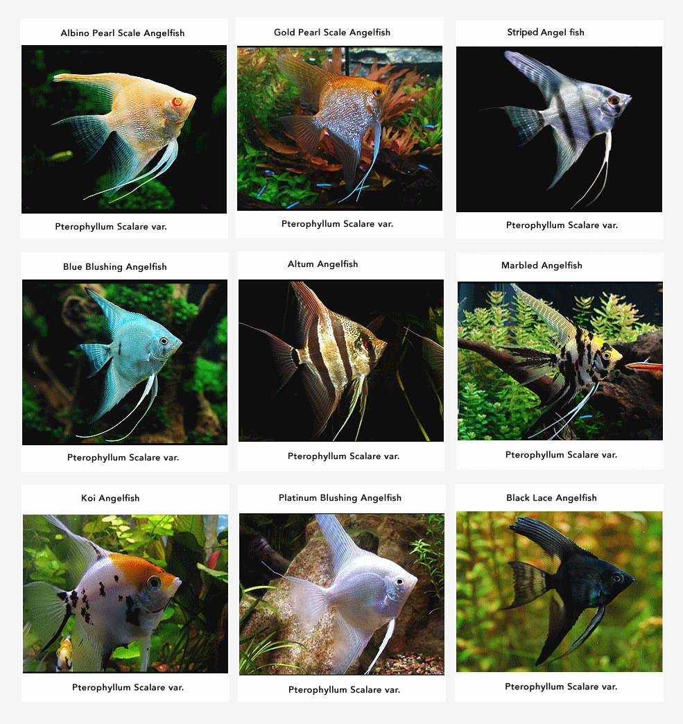 Angelfish information care tankmates feeding and for Freshwater fish facts