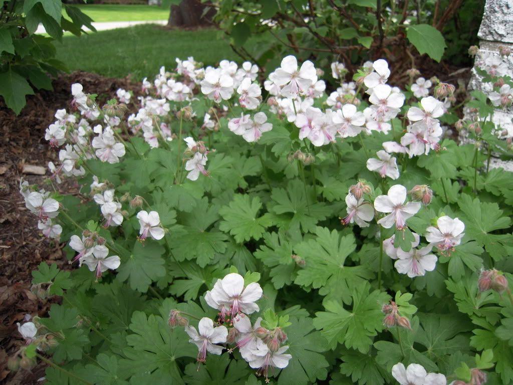 Geranium x cantabrigiense biokovo geranium vigoureux for Plante mi ombre persistant
