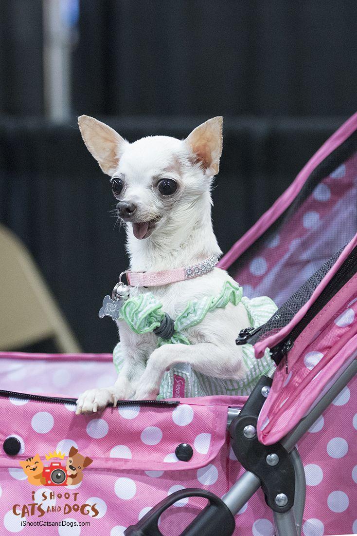 Cute Chihuahua at the Tampa bay Pet Expo 2016 Animal