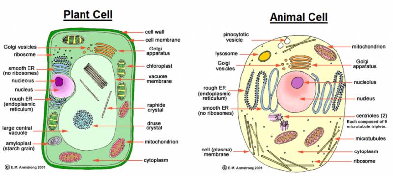 Sel Tumbuhan Dan Sel Hewan Animal Cell Cell Diagram Cell Organelles