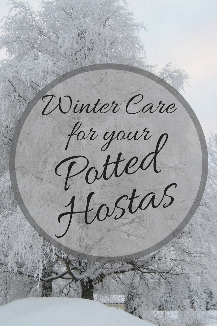 Winter Care For Your Potted Hostas Shade Perennials Low