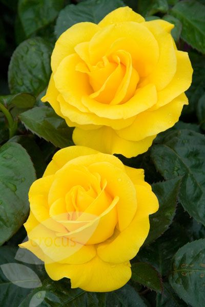 Rosa Golden Wedding Arokris Pbr Flowering This Month July