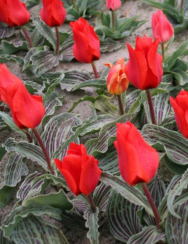Tulip Hardy Bulb Plant Red Impression Flower with Large Red Blooms First Year Flowering Guarentee 32 x Tulip Red Impression Bulbs by Thompson and Morgan