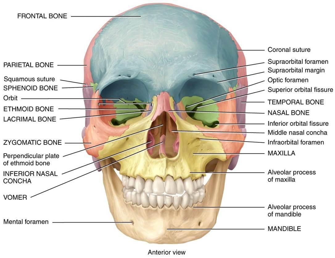 anatomy diagrams of the human skull google search drawing human skull bones diagram labeled both views [ 1086 x 836 Pixel ]