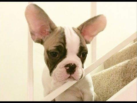 French Bulldog Puppy Vs The Stairs Nugget At 4 Months Old