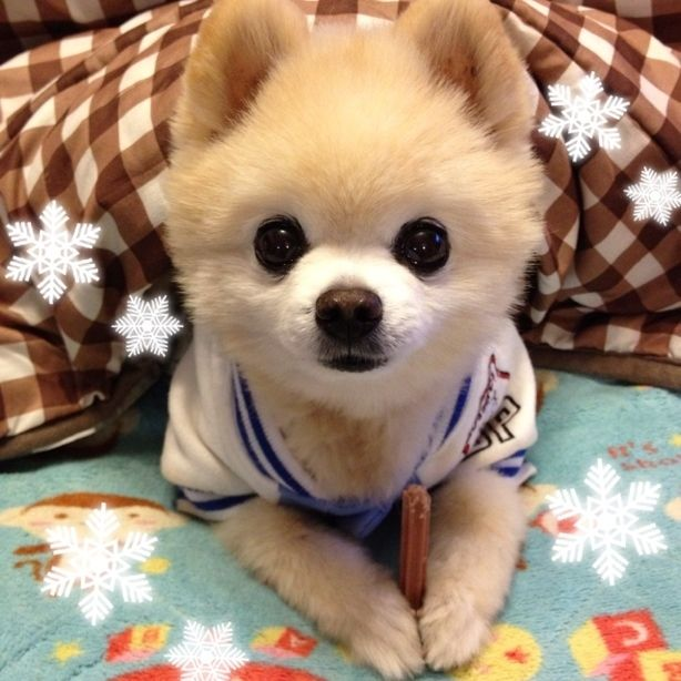俊介くん こたつバンザイ ペット 可愛い犬 可愛い 動物