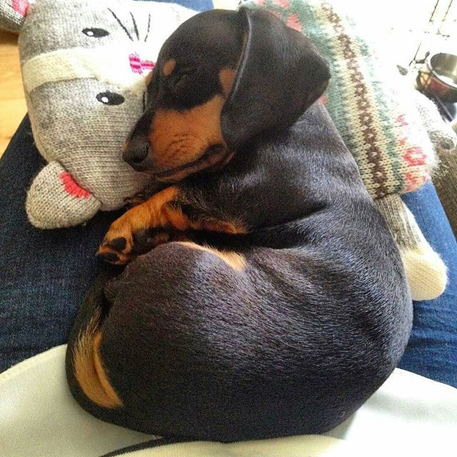 Check The Link In Thedoxieworld Profile And Choose Your Dachshund