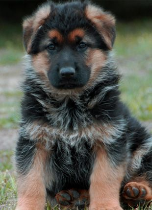 Gorgeous Gsd Pup Puppies Dogs