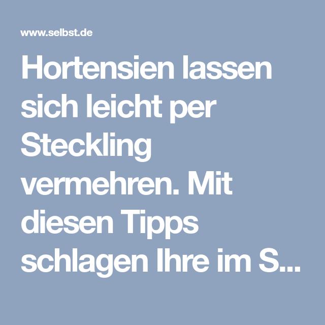 Hortensie vermehren   selbst.de