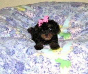 cavapoo puppies jacksonville Cavapoo puppies, Cute baby