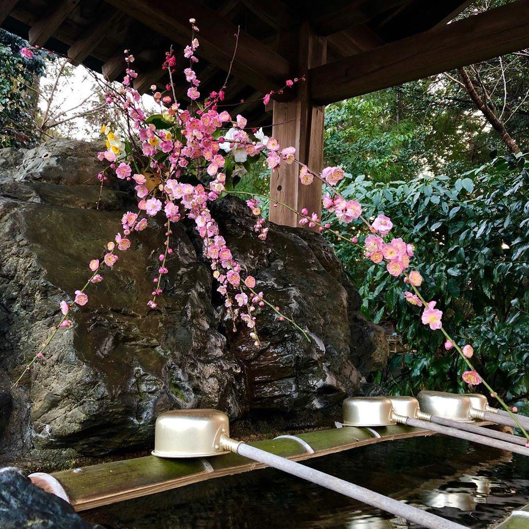 現在の手水舎のお花は、いつもと違うところに生けたので、梅の枝垂れた姿や、水仙と侘助椿の白が素敵です💐 * * #梅 #季節の花 #手水舎 #御霊本宮 #Goryohongu #奈良県 #五條市 #御霊神社 #神社 #Japan #Nara #Goryojinja #Jinja #Shintoshrine #flowers