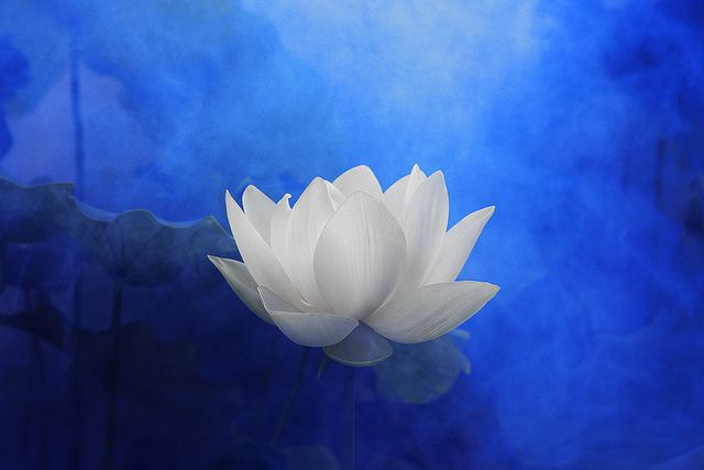 White Lotus Flower Surreal Series Dd0a7194 2 1000 Lotus Flower With Blue Background Blue Color Blue Blue Color Blue Nature Yoga زهرة اللوتس ハ White Lotus Flower Blue Lotus Flower White Lotus