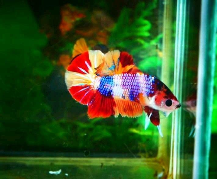 Rainbow Candy Ikan Cupang Ikan