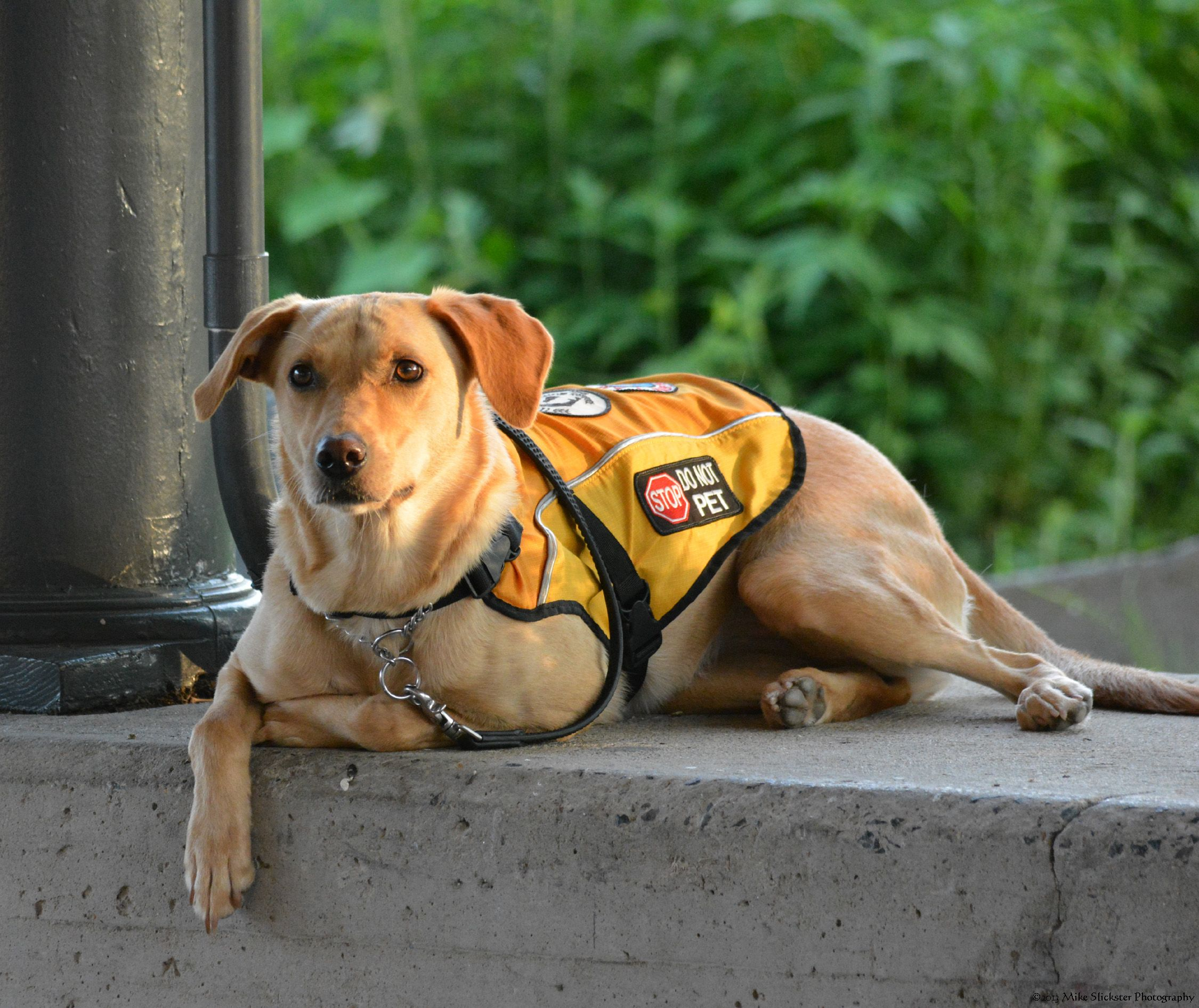Diabetic Alert Dog in training. Very smart animal. Dogs