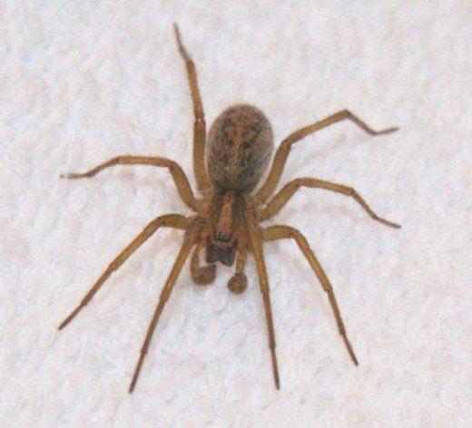 How To Identify Venomous House Spiders Hobo Spider Giant House Spider House Spider