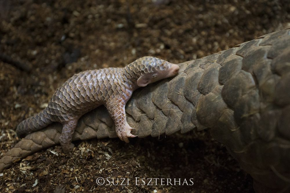 Chinese Pangolin Manis Pentadactyla Two Week Old Baby Clinging To