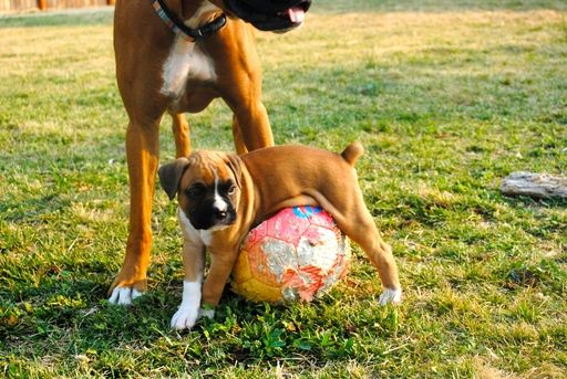 Litter Of 7 Boxer Puppies For Sale In Boise Id Adn 39720 On