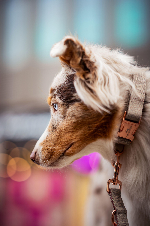 Australian Shephard Mit Freudentier Rose Gold Halsband In Berlin In 2020 Hunde Tiere Australian Shepherd