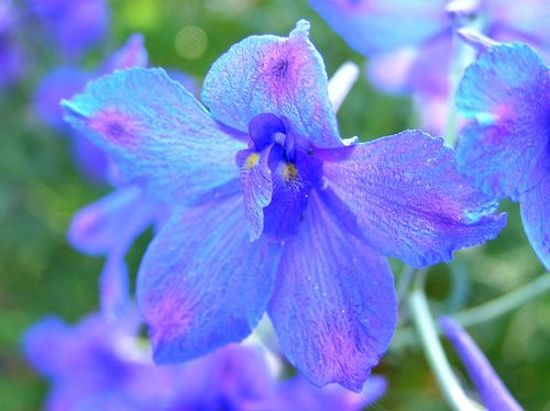 delphinium grandiflorum blue butterfly. Fleurs bleu clair ...
