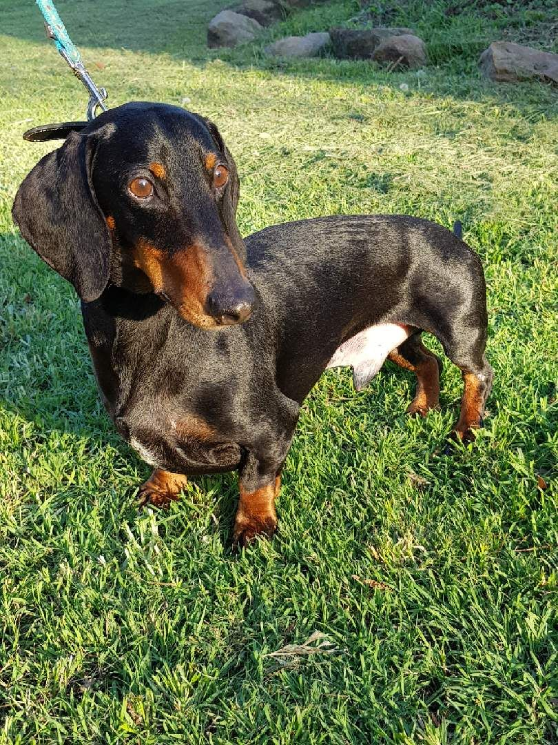 The Dashing Dachshunds Of Australia Photos Dachshund Dogs