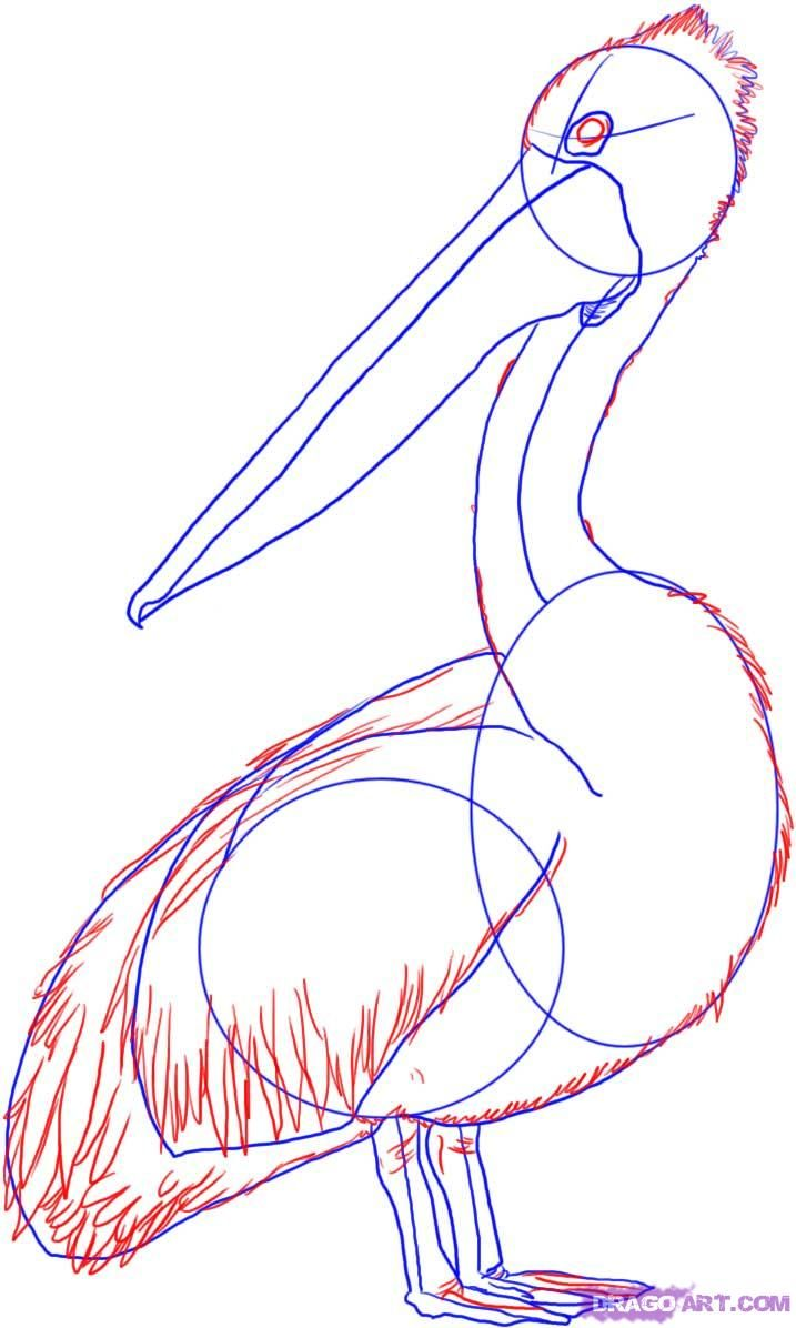 How To Draw An Australian Pelican Step 3