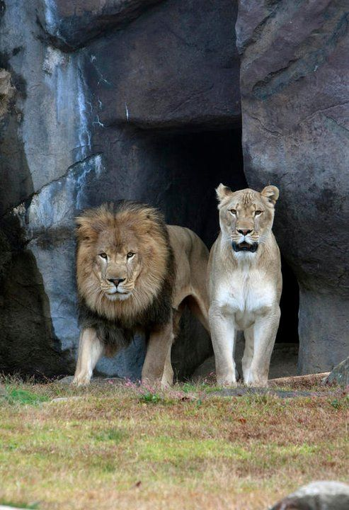 Leo And Una The Only Two Live Lion Mascots At The George H