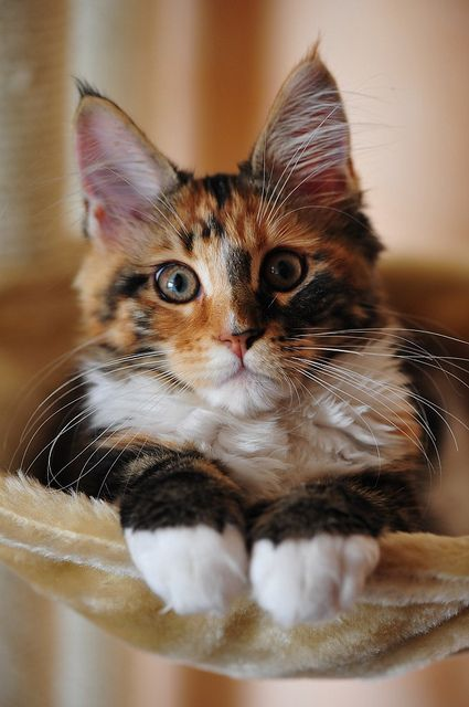 India Perfect Cat Mco 3 Months Beautiful Cats Cute Animals