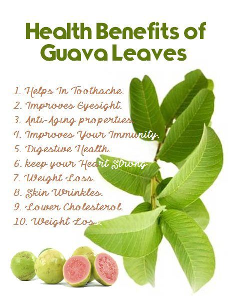 wound healing and guava leaves Top health benefits of guava leaves  wounds and reduce inflammation of the uterus to expedite the healing of wounds guava leaf tea is also helpful in curing ear .
