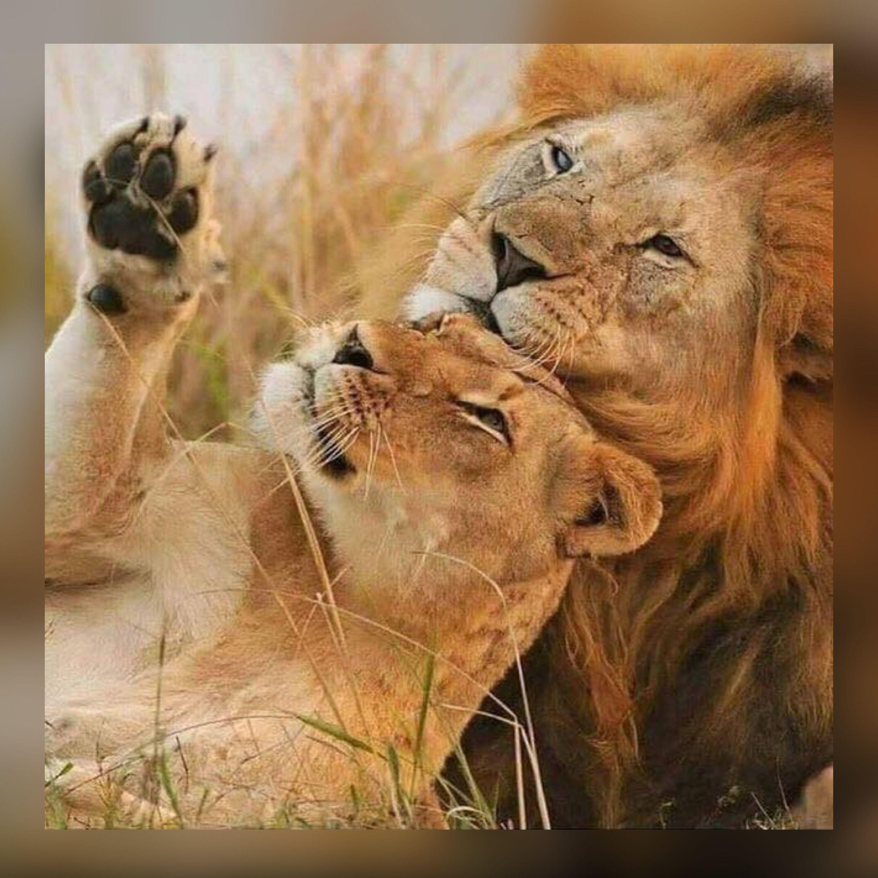 Картинки львов и львиц с надписями скучаю