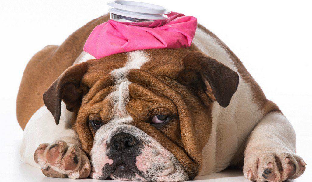 English Bulldog Breed Information Photos History And Care Advice