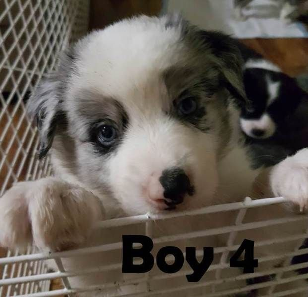 Purebred Border Collie Pups Dogs Puppies Gumtree Australia