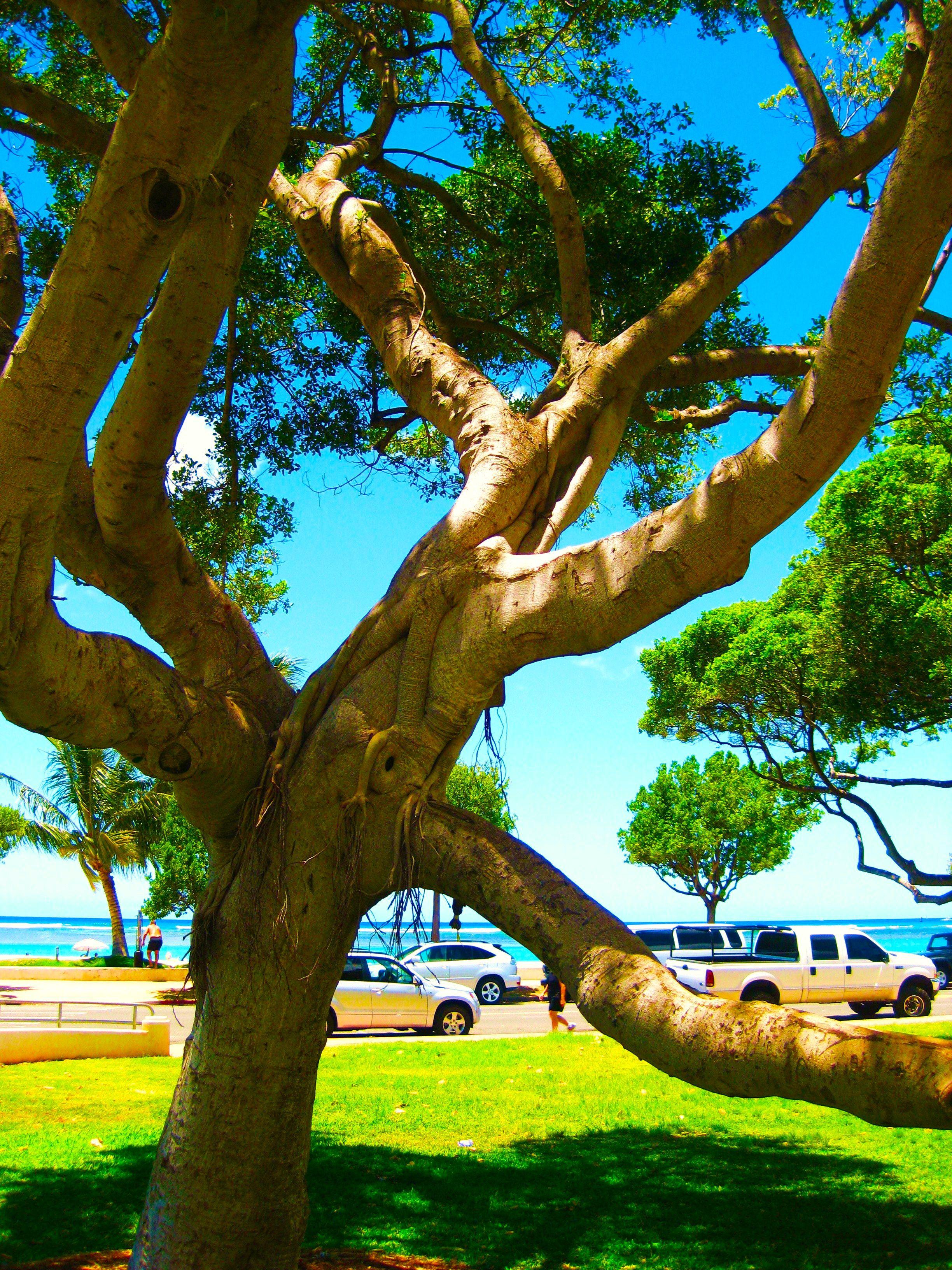 Banyan Tree Ala Moana Beach O'ahu (Via MissNapi) Ala