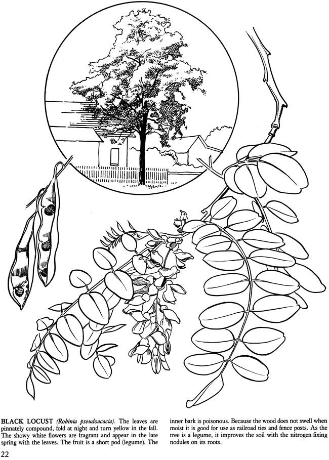 Black Locust Tree - Trees of the Northeast coloring book from Dover ...