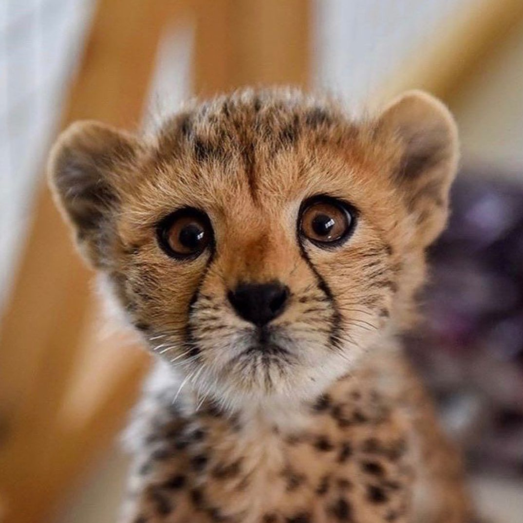 """Animals / Pets / Wildlife on Instagram: """"This baby cheetah is too cute ❤️ Video by: @ccfcheetah  Share this with a friend 😍"""""""