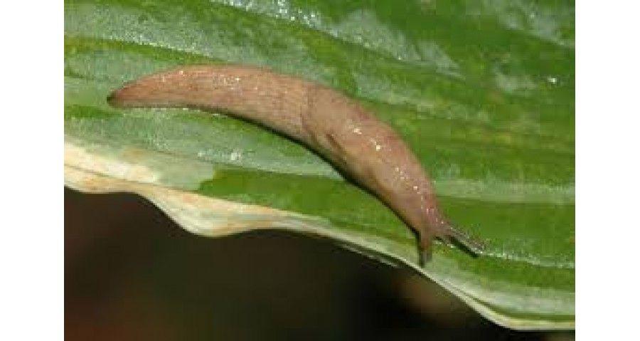 Slug Control Home And Garden Slugs In Garden Slugs