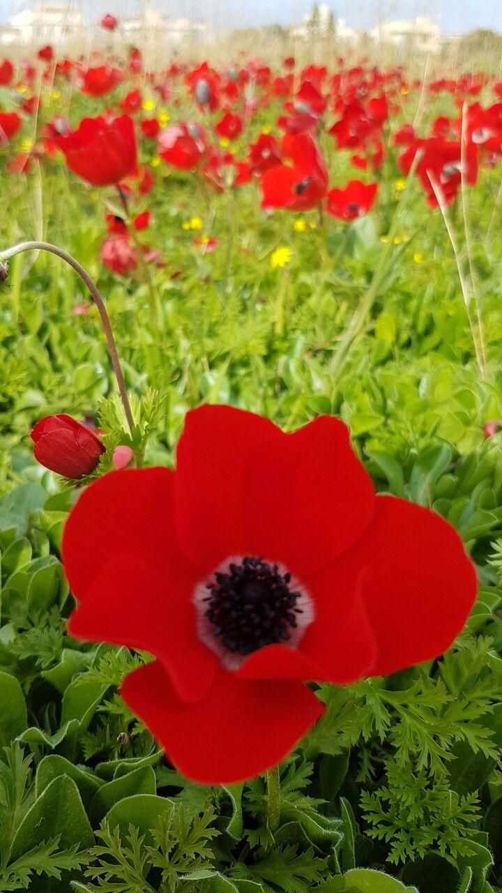 Anemones flowers plants anemone