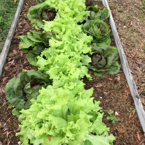 you can grow a garden of vegetables in Florida; here's how Lettuce grows great in the cool weather. If you pick the leaves from the bottom and let the plants grow, they'll keep producing for months. That's radicchio on the sides. I grew it for the first time last year. I planted after the first cool front in October and we were able to pick the heads by la