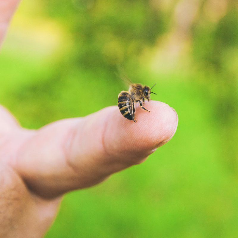 7 home remedies for bee stings remedies for bee stings