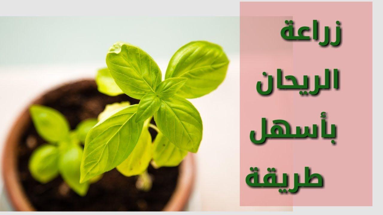 كيفية زراعة الريحان من البذور ورعايتها بأسهل الطرق How To Grow Basil Https Youtu Be 8wwiq9wieeg Plants