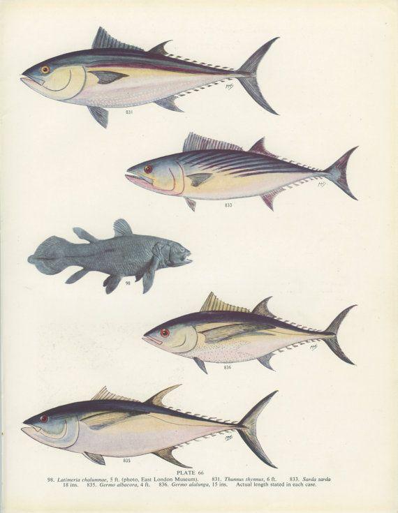 Bluefin Tuna, German Bonito,Yellowfin Tuna, Vintage Fish Print 66 ...