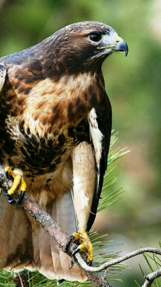Pin By Abbasali On صور صقور Falcon Photos Animals Pet Birds Bald Eagle