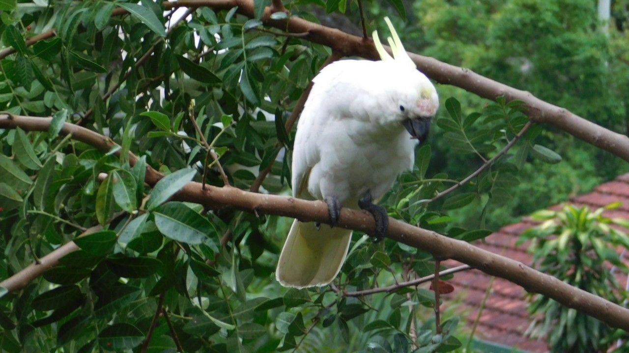 wild cockatoos in my backyard birds of brisbane queensland